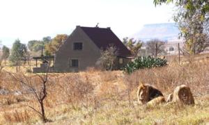 Muốn trải nghiệm cảm giác ngủ giữa đàn sư tử, đến Nam Phi ngay
