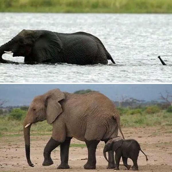 10 bức hình kute lạc lối về voi con khiến bạn phì cười