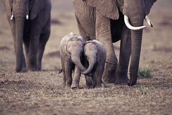 10 bức hình kute lạc lối về voi con khiến bạn phì cười - 1
