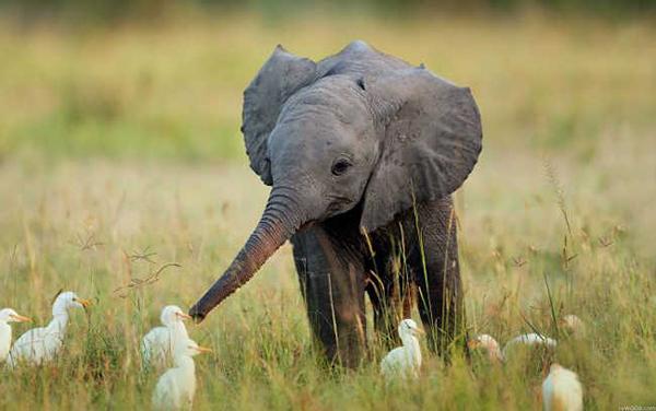 10 bức hình kute lạc lối về voi con khiến bạn phì cười - 2