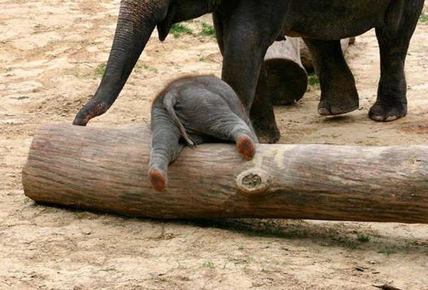 10 bức hình kute lạc lối về voi con khiến bạn phì cười - 3