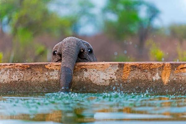 10 bức hình kute lạc lối về voi con khiến bạn phì cười - 7