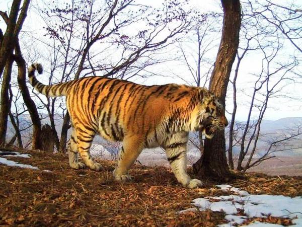 Bất chấp bản năng hoang dã, con hổ trưởng thành liều mình tìm đến con người sau khi bị thương.