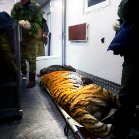 Hổ Siberia là một trong những loài động vật nguy hiểm nhất nước Nga nhưng cũng là một trong 10 loài có nguy cơ tuyệt chủng cao nhất thế giới.
