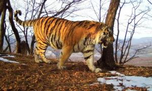 Hổ già hung dữ tìm người giúp đỡ khi bị thương