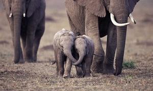 10 bức hình 'kute lạc lối' về voi con khiến bạn phì cười