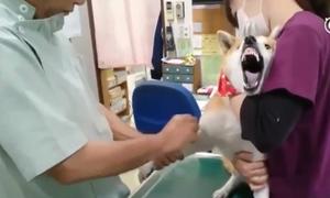 Cười sặc cảnh chú chó shiba gào thét khi bị bác sĩ tiêm