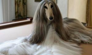 Chú chó sang chảnh được chi chục nghìn USD chỉ để chải lông