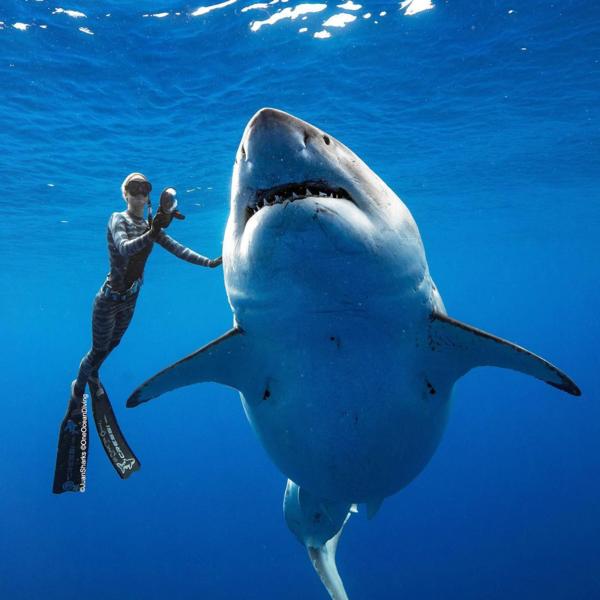 Thợ lặn Hawaii có thể vui đùa cùng cá mập trắng - 1