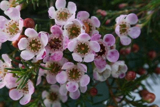 Đọc vanh vách các loại hoa ngày Tết (2) - 6