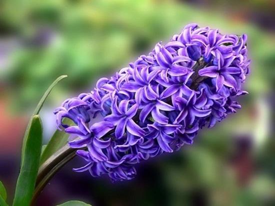 Đọc vanh vách các loại hoa ngày Tết (2) - 8