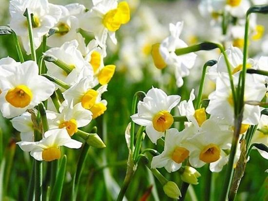 Đọc vanh vách các loại hoa ngày Tết (2) - 1