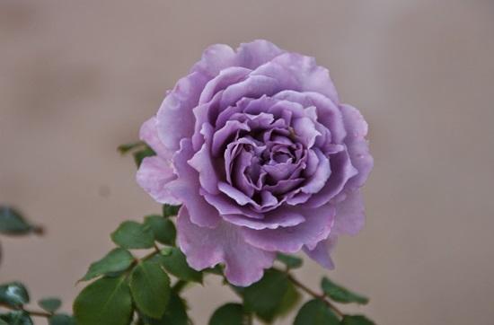 Ý nghĩa của các loại hoa hồng - 6