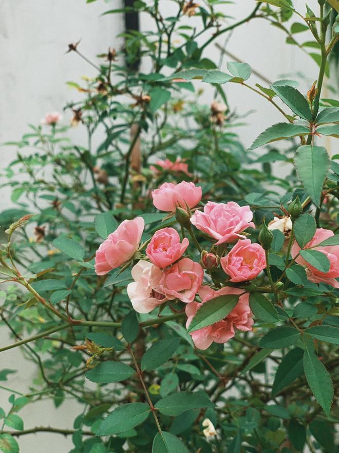 <p> Khóm hồng cũng khoe sắc rực rỡ, được chủ nhân căn biệt thự chăm sóc kỹ lưỡng.</p>