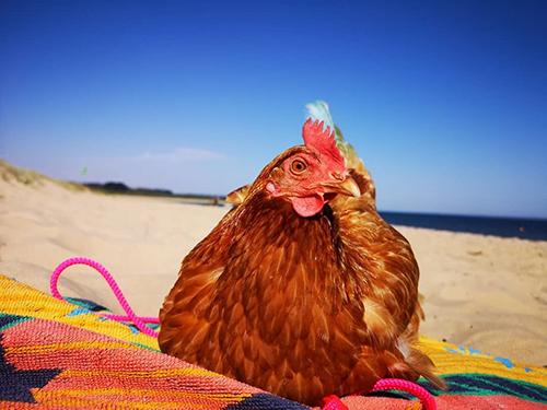 Angel Muiri chia sẻ: Chookie chắc chắn là con gà mái độc nhất vô nhị, tôi thật sự rất may mắn khi tìm thấy và làm bạn với cô ấy.