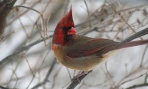 Chim 'nửa trống nửa mái' kỳ lạ tại Mỹ