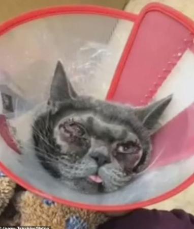 Hình ảnh trên truyền hình Giang Tô cho thấy lông trên khuôn mặt chú mèo bị cạo gần hết để dễ dàng thực hiện ca phẫu thuật.