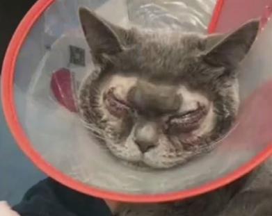 Hình ảnh chú mèo sau khi trải qua ca phẫu thuật, đôi mắt sưng đỏ và nhìn rõ những mũi khâu.