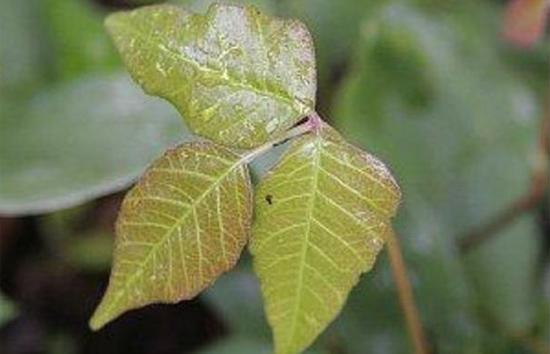 Thông thái phân biệt thực vật có độc hay không?