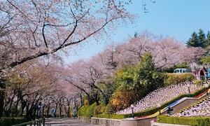 Những khoảnh khắc tuyệt đẹp trong mùa hoa anh đào Hàn Quốc