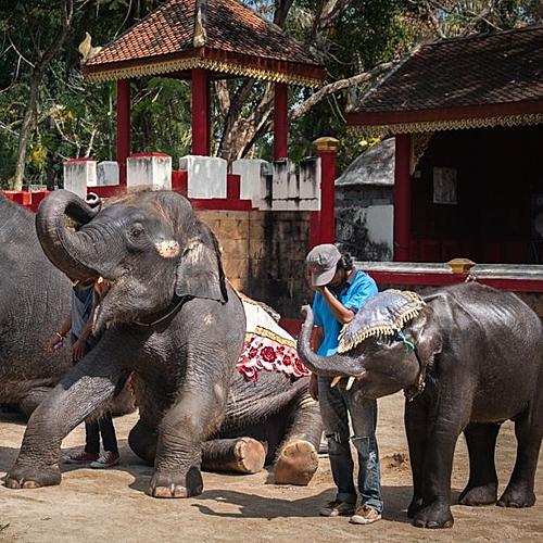 Các chuyên gia động vật học nhận định, những con voi ở sở thú, rạp xiếc đang gặp nạn.