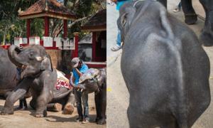 Hình ảnh đau lòng của những 'chú voi Dumbo' ngoài đời thực