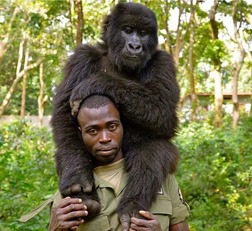 Khỉ đột selfie cùng kiểm lâm gây bão mạng - 2
