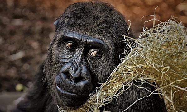 Khỉ đột selfie cùng kiểm lâm gây bão mạng - 1