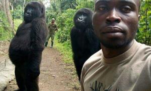 Khỉ đột tạo dáng, chụp ảnh selfie cùng kiểm lâm