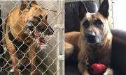 Chó nghiệp vụ nhập viện vì bị nhím cắm đầy gai vào mặt
