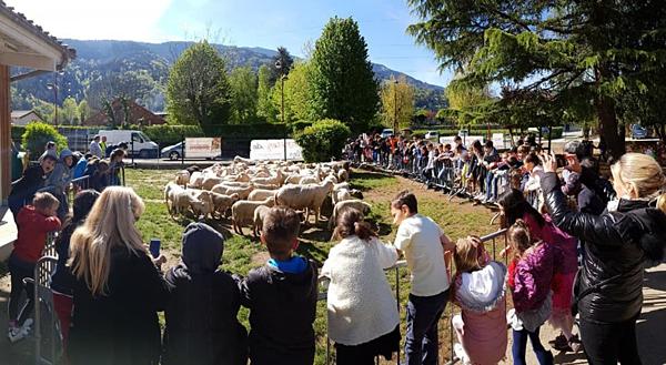 15 chú cừu ở Pháp được đến trường tiểu học làm... học sinh - 1