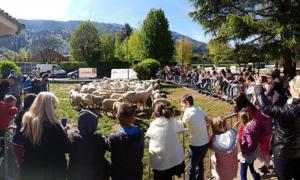 15 chú cừu ở Pháp được đến trường tiểu học làm... học sinh