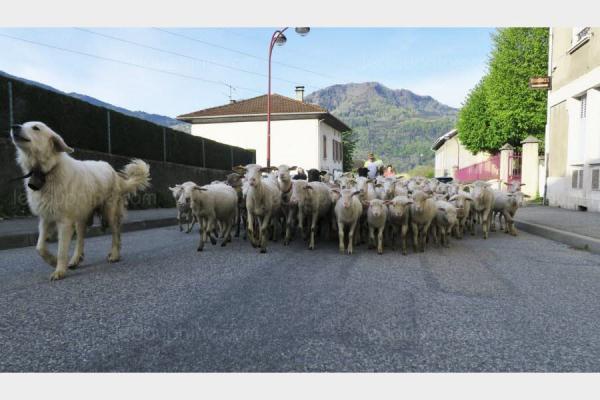 Những con cừu được đưa đến trường tiểu học ở Pháp.