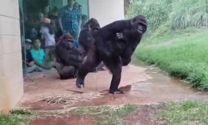 Đàn khỉ đột gây cười khi nhăn nhó tìm chỗ trú mưa