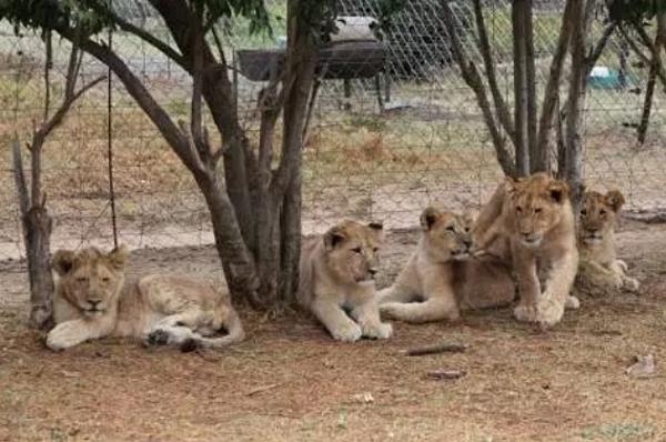 Những con sư tử thuộc trang trại  Veltevrede ở Nam Phi.