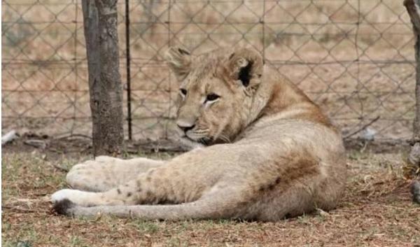 Một trong những con sư tử cái ở trang trại sư tử Veltevrede nơi Dina-Marie bị tấn công.