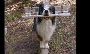 Chó giữ thăng bằng với 5 cốc nước