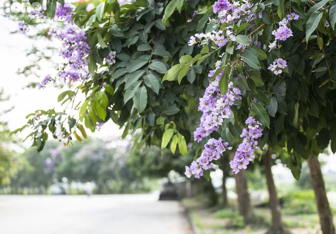 <p> Trong cái nắng đổ lửa cuối tháng 5, những hàng cây bằng lăng tím đang vào mùa nở rộ khắp các tuyến đường Kim Mã, Tây Hồ, Đào Tấn, hồ Hoàn Kiếm ở Hà Nội.</p>