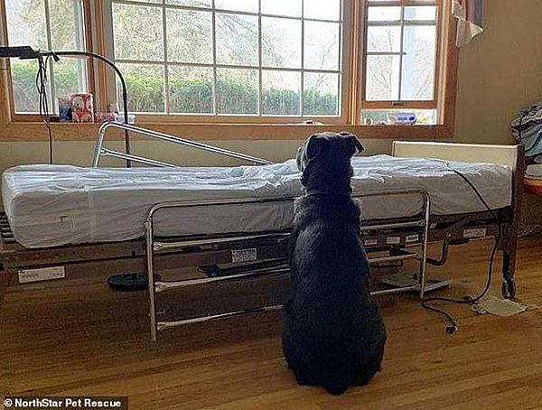 Chó Moose kiên nhẫn ngồi đợi bên cạnh giường bệnh của chủ nhân. Ảnh: NorthStar Pet Rescue.
