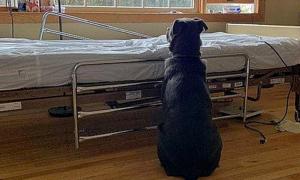 Chó ngồi chờ bên giường bệnh của người chủ quá cố