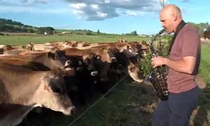 Người đàn ông thổi kèn 'gọi đàn bò' hút 12 triệu lượt xem