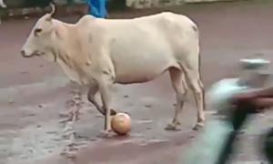 Chú bò tranh bóng với trai làng ở Ấn Độ