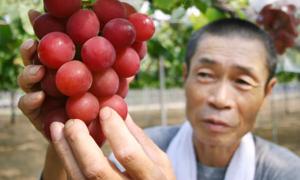 Chùm nho được bán đấu giá nghìn đô ở Nhật Bản