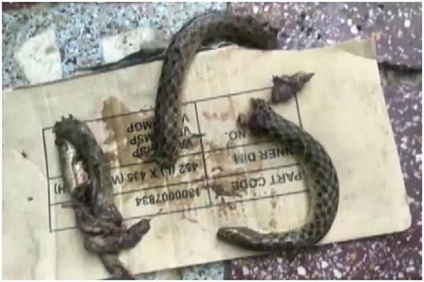 Bị rắn cắn, người đàn ông Ấn Độ cắn lại để trả thù