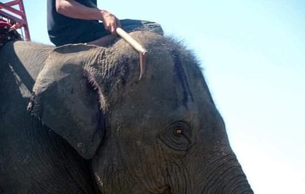Hình ảnh bạo hành voi đau đớn khiến Thái Lan kêu gọi ngừng cưỡi voi - 1