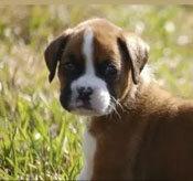 Đâu là chú cún con của giống chó này? - 32