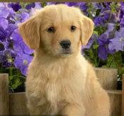 Đâu là chú cún con của giống chó này? - 6