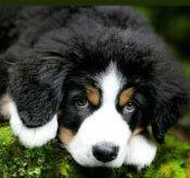 Đâu là chú cún con của giống chó này? - 16