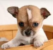Đâu là chú cún con của giống chó này? - 21
