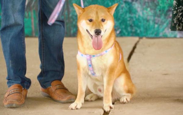Nhân vật chính do chú chó có tên bé Vàng đảm nhận.
